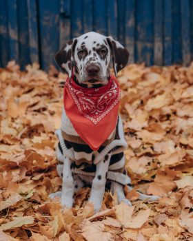 black and white dalmatian dog wearing red and white shirt sitting on dried leaves during daytime